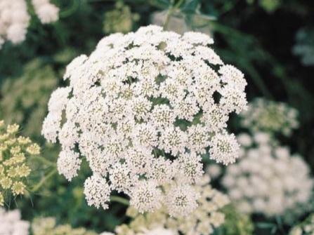 L'ammi majus   Pour Amandine, c'est la fleur champêtre par excellence, qui lui rappelle son enfance. Une de ces fleurs que l'on cueille lors d'une balade dans les champs, l'ammi majus est sa fleur préférée avec son côté fragile et bucolique que l'on ne trouve pas chez les fleuristes traditionnels mais dans la plupart des bouquets Haut les Cœurs.  Cette fleur n'a pas d'odeur à part une note végétale et de verdure. Le parfumeur peut recréer avec sa large palette olfactive deux types de fleurs : celles qui ont une odeur mais qui ne délivrent pas leur parfum lors de l'extraction comme le lilas ou le muguet et celles qui n'ont pas d'odeur comme l'ammi majus ou le coquelicot. Ces dernières sont appelées fleurs imaginaires… On laisse libre cours à l'imagination du parfumeur pour en inventer leur odeur.