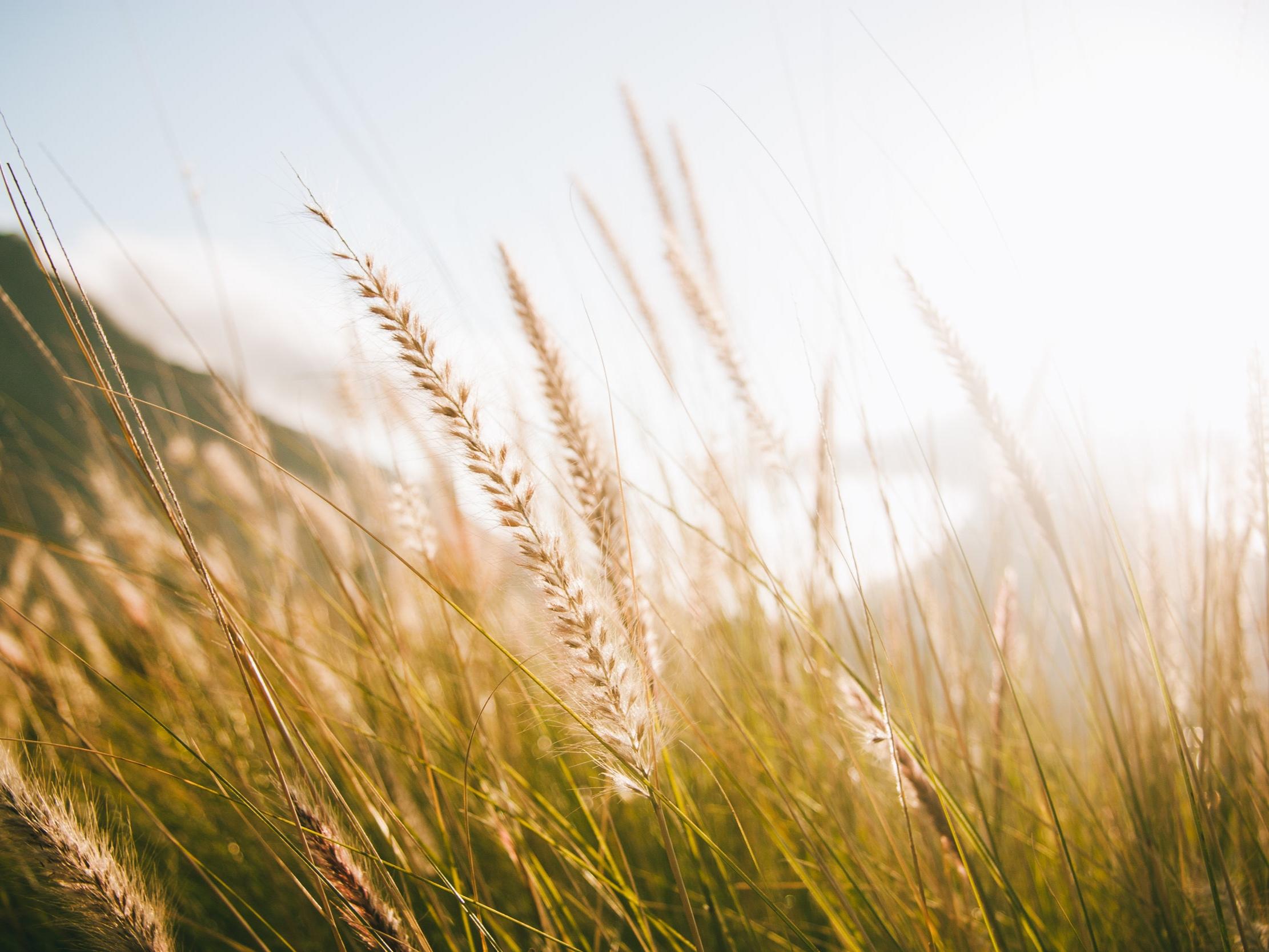 """Les champs de blé   L'odeur des champs de blé coupés à la moisson ramène Amandine à des souvenirs de son enfance en campagne… Pendant ses études, lorsqu'elle revenait de """"la ville"""", elle baissait toujours les vitres de la voiture pour pouvoir sentir le blé coupé. Ce genre d'odeurs qui font partie de notre quotidien, auxquelles on ne fait plus attention, et qui nous manquent lorsqu'on ne les a plus sous le nez…  En parfumerie, la note blé est très récente et réservée à la parfumerie fine ainsi qu'aux parfums d'ambiance. Son parfum balsamique et vert s'accorde avec des notes herbacées, santalées et des parfums fougères. L'originalité de cette matière première vient de sa facette naturelle de céréale et de fruits secs."""