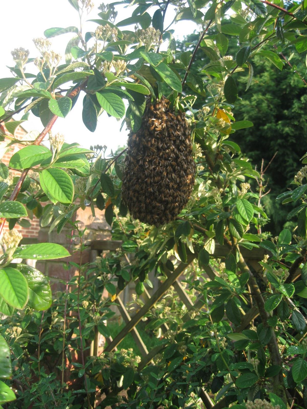 2. Honeybee Swarm.jpg