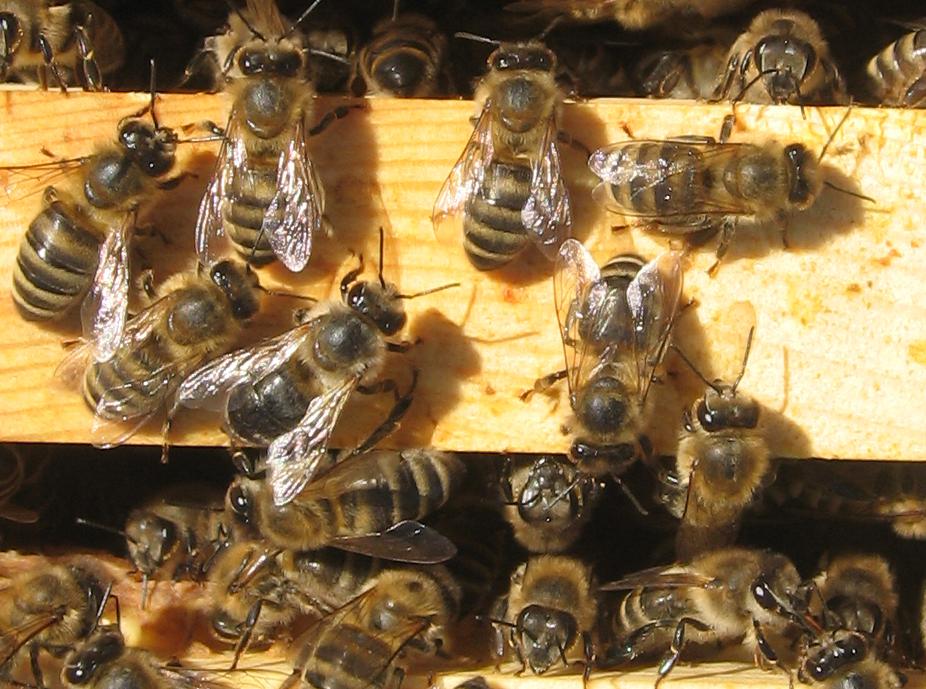 1. Honeybees.jpg