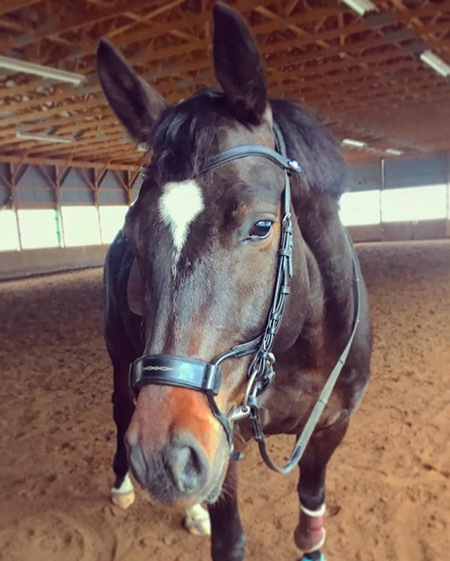 Quinny (Quaterback x Rohdiamant) happy after a little workout over some poles 🦄🥰 • • • #lakehurstsporthorses #quaterback #rohdiamant #oldenburg #germanoldenburg #dressage #dressagehorse #dressur #pferd #goodboy #equestrian #equestrianstyle #horsesofinstagram #horse #dressagehorsesofinstagram #warmblood #sporthorse #fei #rider #breeder #twohearts