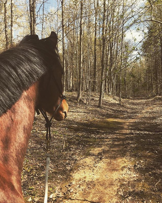 First time walk in the woods for coming 2 year old, Fifa! 🌳🌿 • • • #lakehurstsporthorses #twoyearold #kwpn #kwpnna #dutchwarmblood #warmblood #futurestar #dressage #dressagehorse #dressur #equestrian #breeder #trails #woods