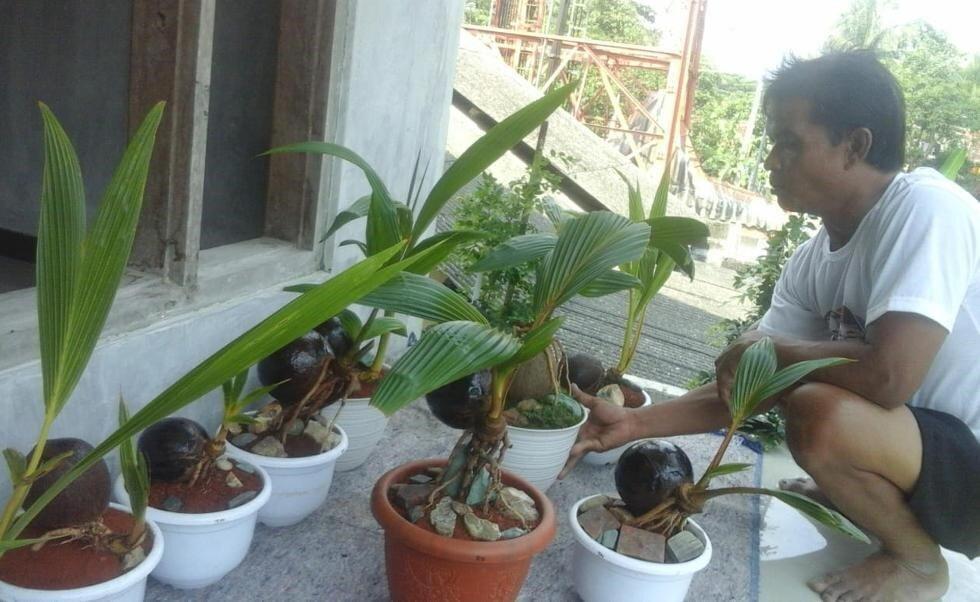 Komunitas Bonsai Desa Sidareja Kembangkan Bonsai Kelapa Gading