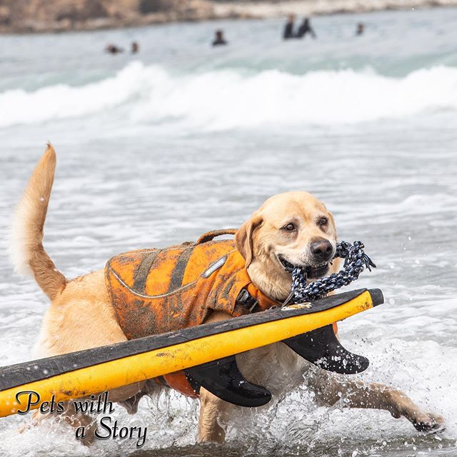 Carlie was eager to pull his board out and start the competition! #surfdog #worlddogsurfingchampionships #oceandog #surfer #petswithastory