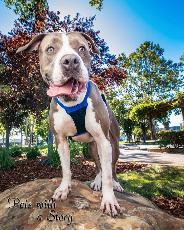 Blu is a goof ball to the max! He would love to meet you so go check him out and his personality your sure to love he's @contra_costa_animal_services  #pitbulls #bayareadogs #adoptme #pitbulllove #petswithastory