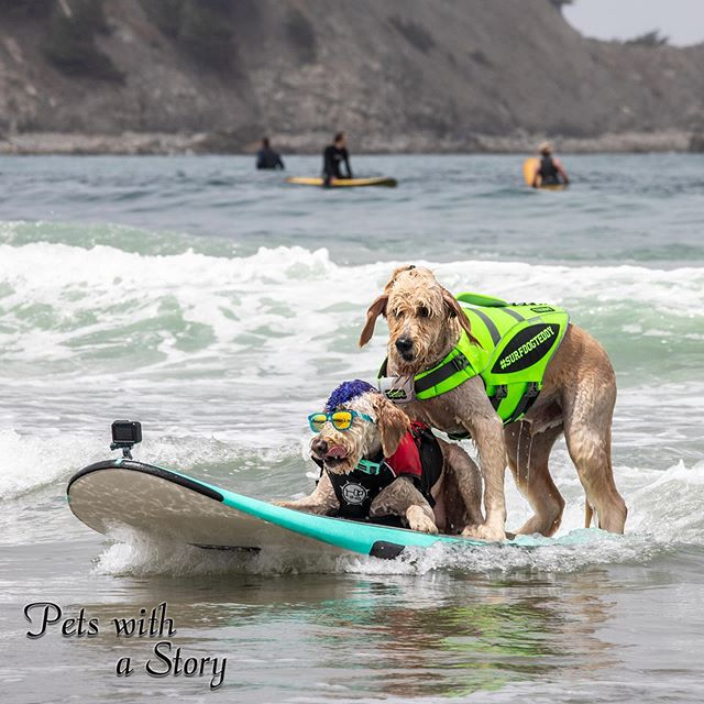 Professional tandem riders @surfdogteddy and @derbycalifornia are riding like real pros. They both have so much joy in surfing. As they get close to shore the exuberantly jump off the board and run back into the ocean. These two are pure joy! #dogsurfing #dogsurfingcompetition #bayareadogs #surfinglife #petswithastory #petsofinstagram