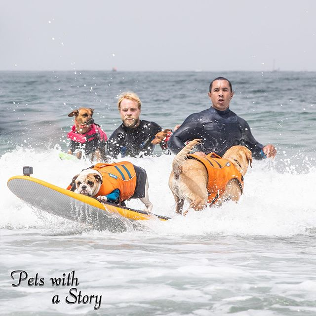 Charlie surfpup flexing some skills on a tandem ride with the real Rothstein what an awesome ride for the both of them!  Giselle and rusty in the back taking the next wave in!  @the_realrothstein @charlie_surfsup @gisellethesurfergirl @rustythesurfingminpin @worlddogsurfing #dogsurfing #dogsurfcompetition #pacifica #surfdogsofinstagram #beachday