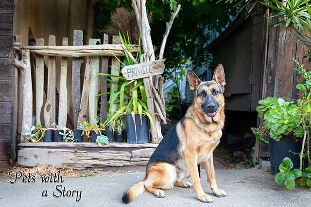 Went out exploring the a fun small town with Odin and found a tun of cool scenes to put him in. He is officially part of the book project that helps the shelter dogs! If you would love your pooch in a book, DM me for more details! #germanshepherddog #gsd #dogfundraiser #bookproject #smalltown #dogsofinstagram #bayareadogs #petswithastory