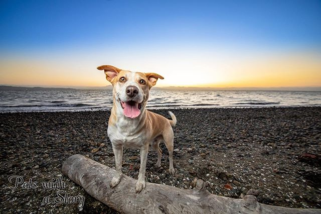 Django having a blast on pebble beach. This guy was so much fun to work with! #bayareadogs #mutt #adopted #petswithastory #beachday #oceanlife