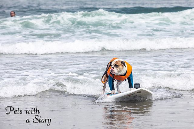 @the_realrothstein  riding in the waves like a pro, with his low center of gravity this is cake for him. He had no problem with balance and stayed on for the whole ride nearly every time. A real pro!  @worlddogsurfing #dogsurfing #dogsurfcompetition #pacifica #oceandog #dogsofinsta #surfdogsofinstagram #beachday #bulldog #englishbulldog