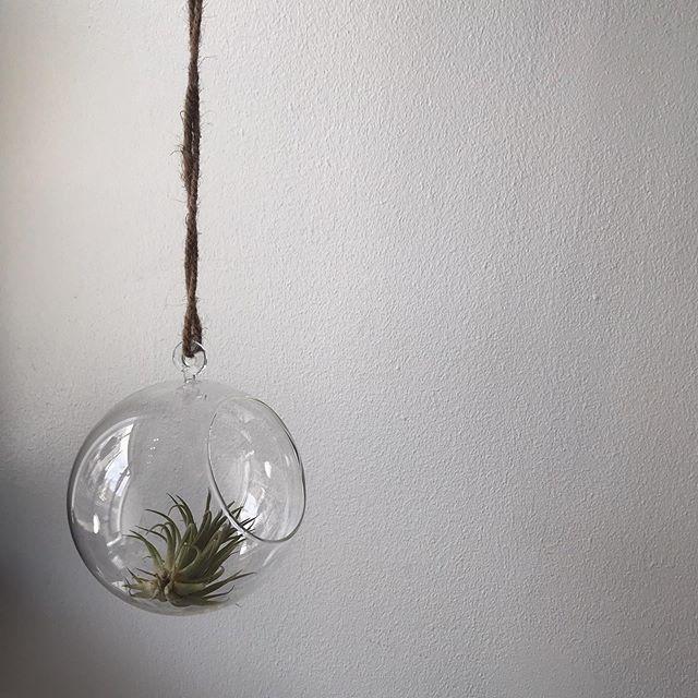 Oletko jo tutustunut ilmakasveihin? Puodilta löytyy nyt näitä trendikkäitä kasveja kodin sisustamiseen. Meillä kotona lapset tekivät omat asetelmat kasveilleen. Ne voi myös asettaa näihin Muurlan lasisiin amppeleihin. Ilmakasvit eivät tarvitse multaa, vaan luonnossakin ne elävät mm puiden rungoilla. . . 🌱Ilmakasvi 5,90€ . 🌱Muurlan lasiamppeli 10,90€/16,90€ . . Tänään puoti auki klo 14.00 saakka 🧡