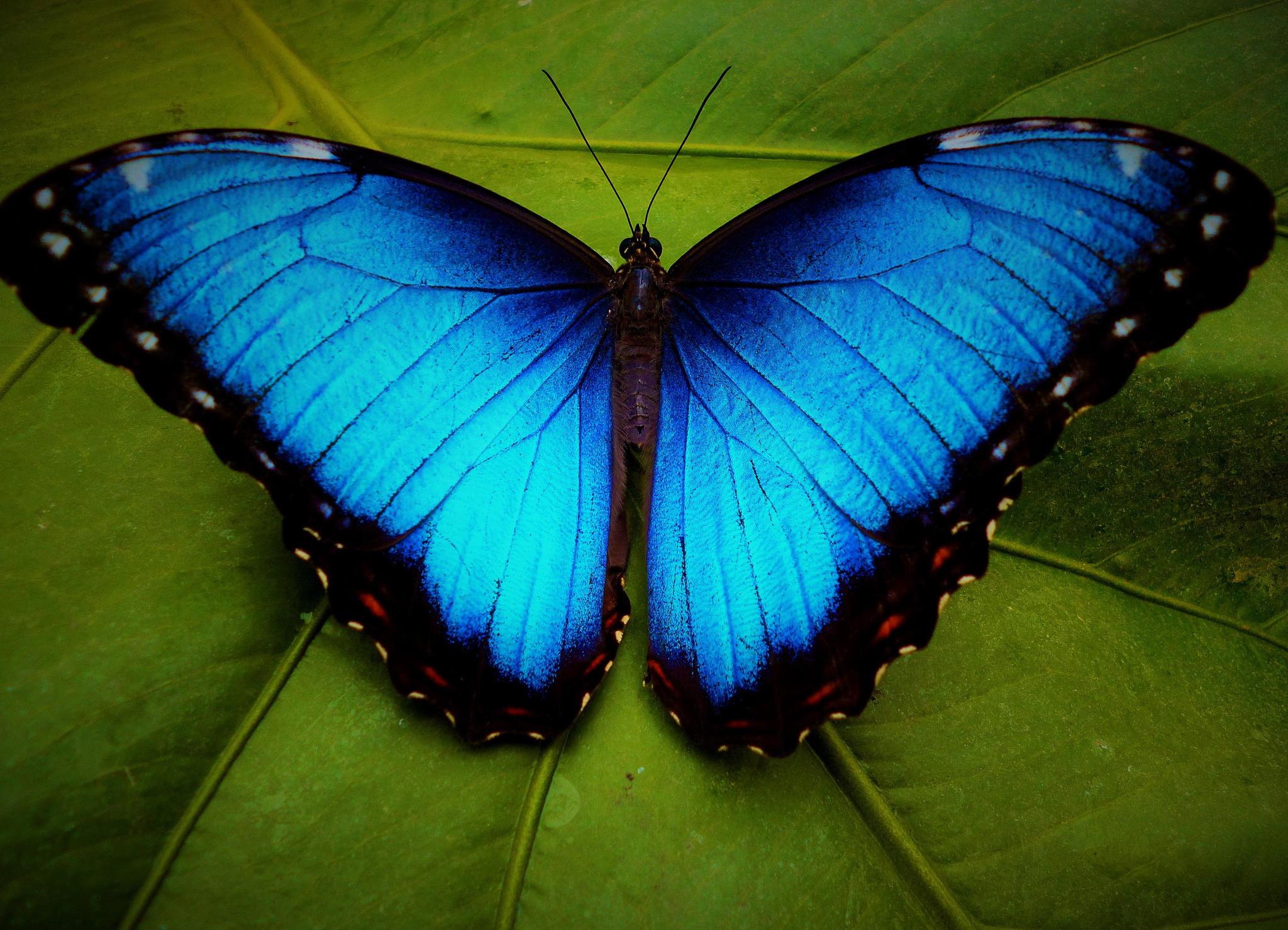 blue-morpho-butterfly.jpg