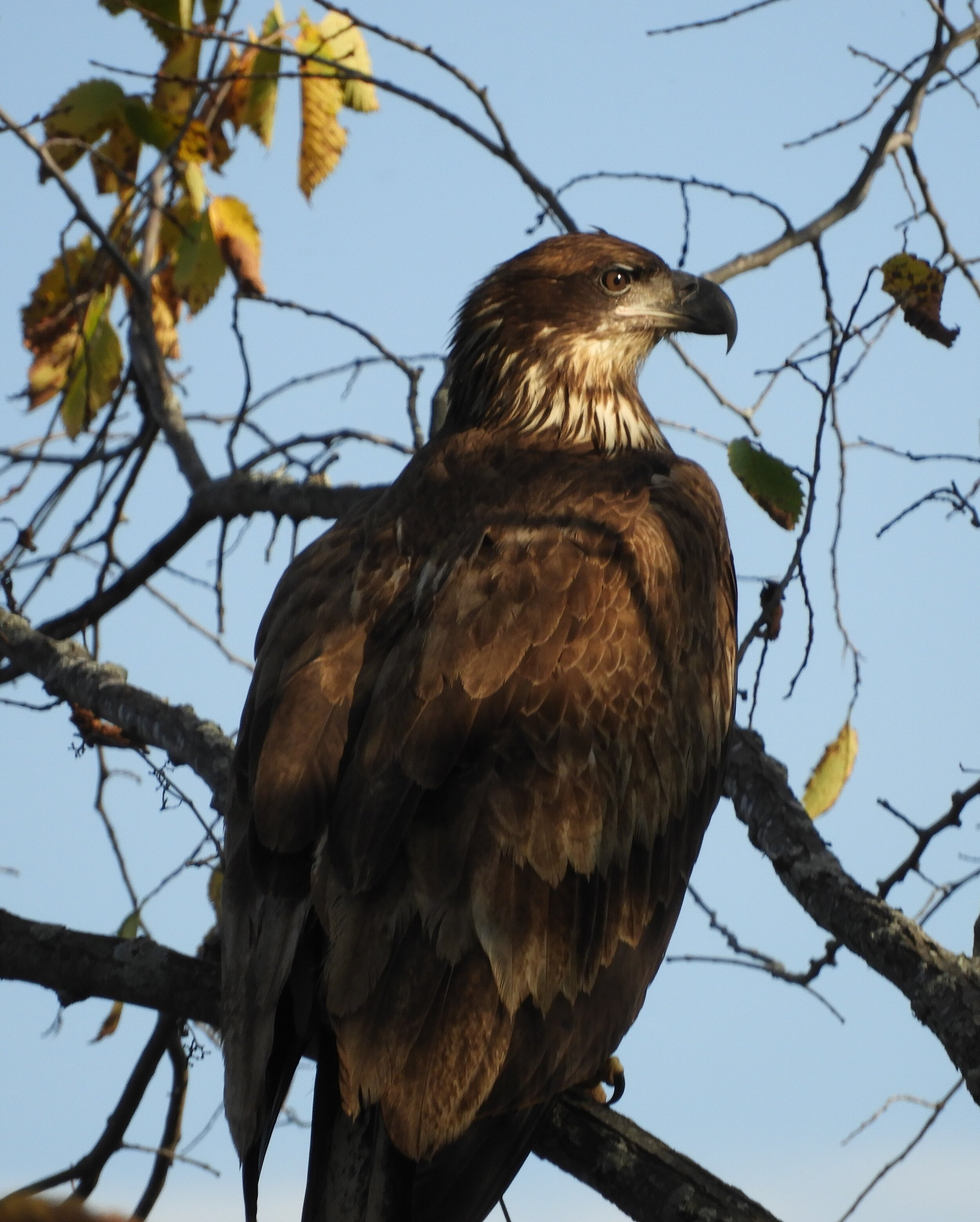 Audience at the courts.  A young eagle.