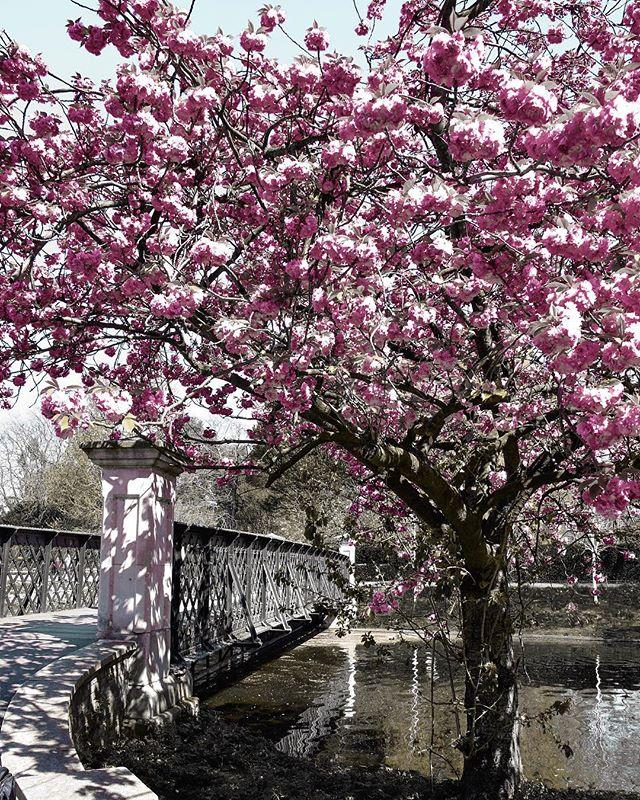 I think this may just be the most beautiful spring London has ever seen ... . . . . . #londoninbloom #springinlondon #mytinyatlaslondon #mytinyatlas #underthefloralspell #map_of_unitedkingdom #whpplanetearth #tlpicks #cntraveler #culturetrip #prettycitylondon #theprettycities #instabritain #cherryblossom #stayandwander #living_europe #london4all #shutup_london #timeoutlondon #igotlondonskills #thisislondon #mycityloves #londonforyou @londoncityworld @igerslondon