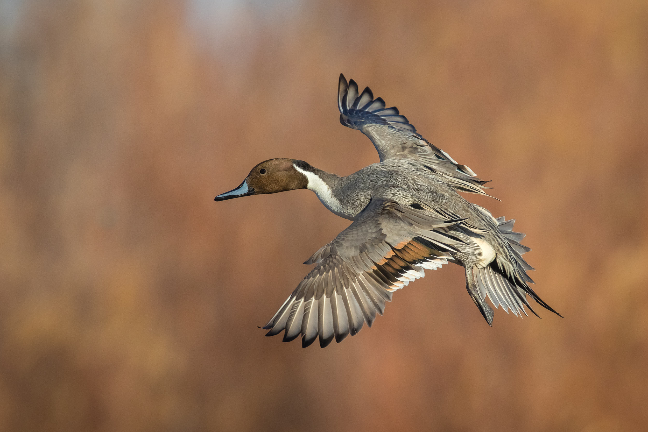 NorthernPintail_L3A0695_MASTER.jpg