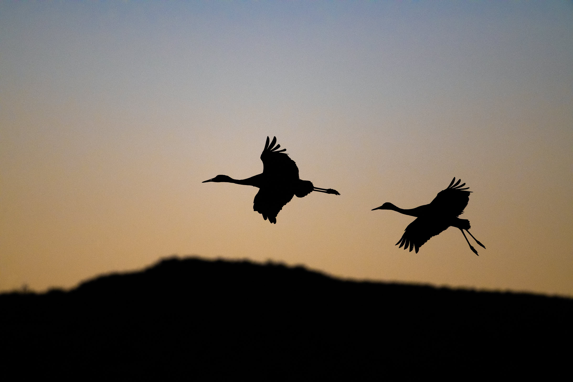 Sandhill Cranes return in the evening