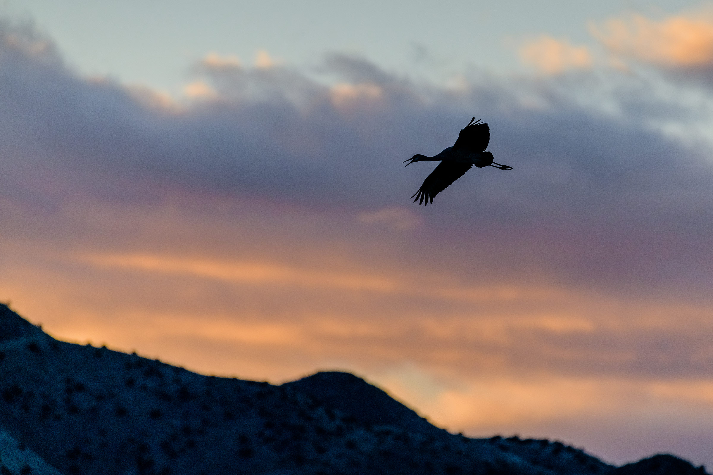 Sandhill Crane returns at sunset