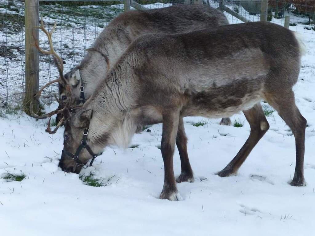 Nettlecombe_Reindeers_8.jpg