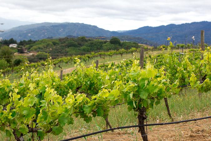 Ridge Montebello grapes topping the foggy Santa Cruz Mountains