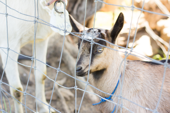 Tomales-baby-goat-fence-0101.jpg