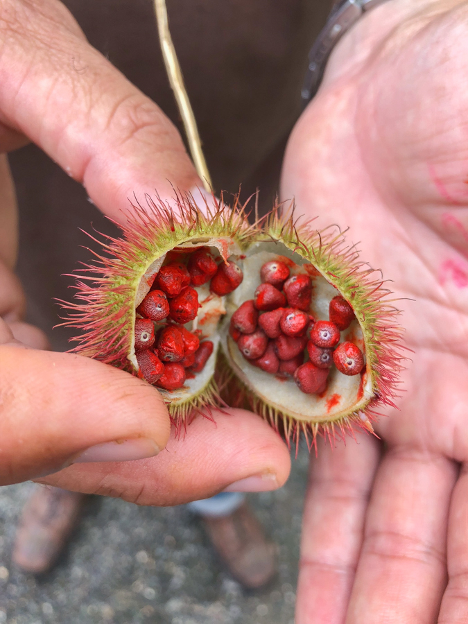 Hand-Annatto-Close-up-Jamaica-4.jpg
