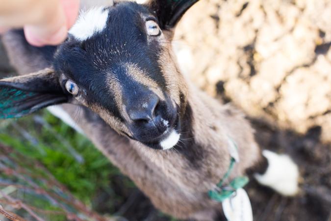 Tomales-goat-1st-pic-4388.jpg