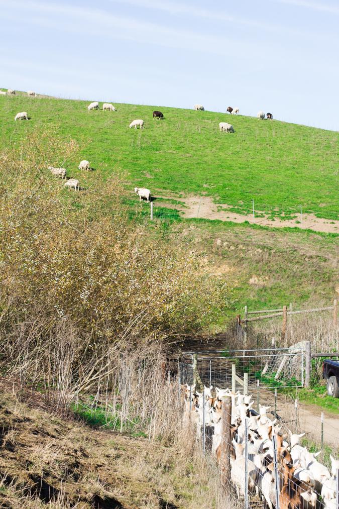 Tomales-goats-hill-tredk-4390.jpg