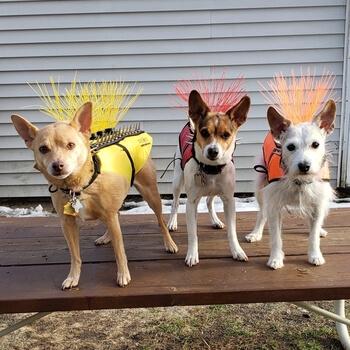 shark-tank-coyotevest-dogs