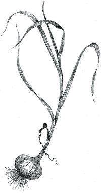 garlic drawing.jpg