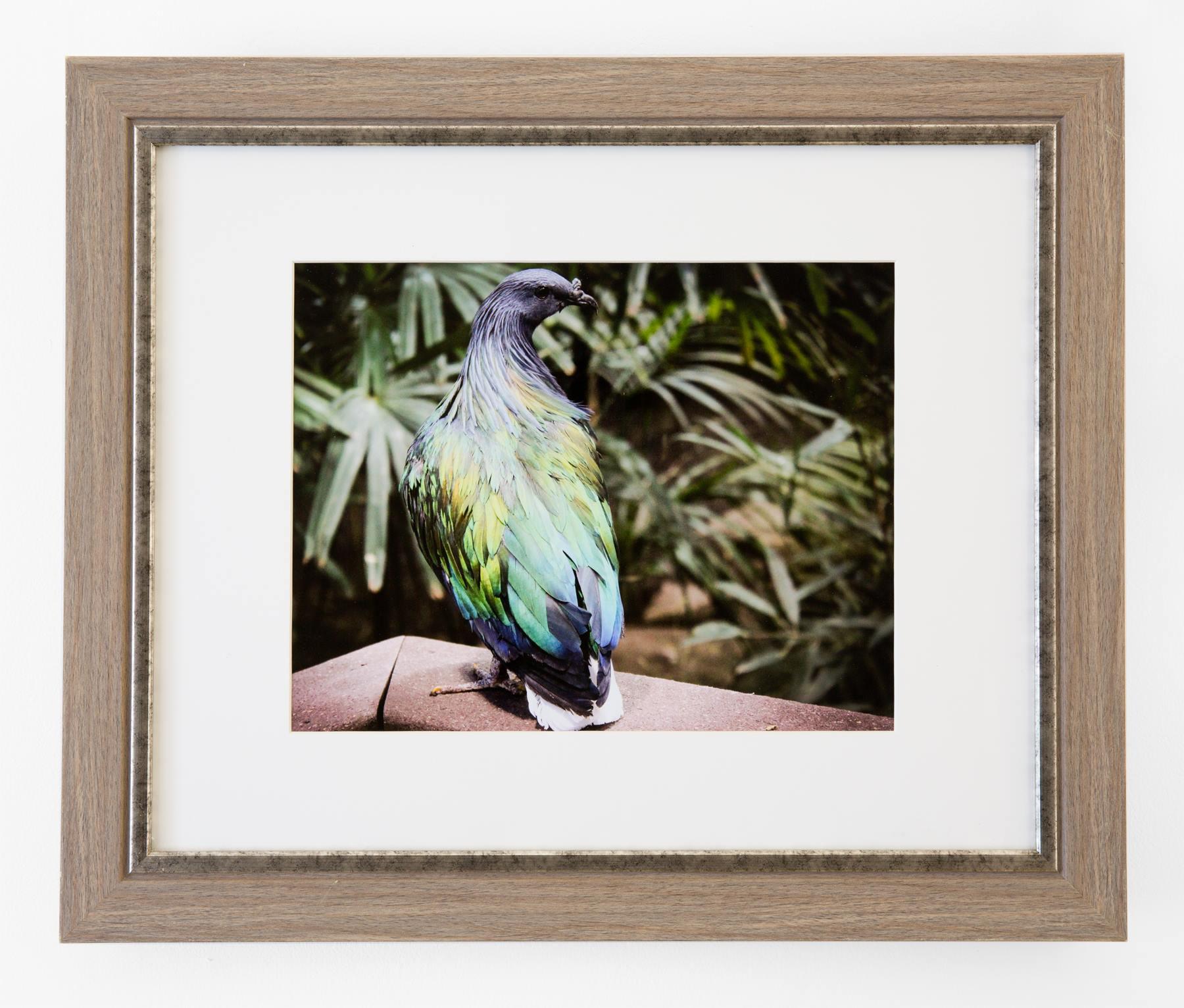 "Amelia Schumacher - ""Nicrobar Pigeon"" Insta: @ameliamariephoto  For Sale: $240"