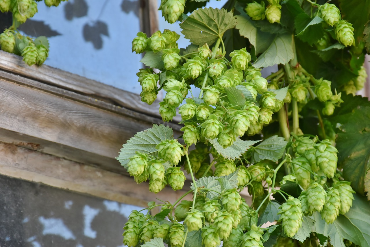 hops photo - pixabay.jpg
