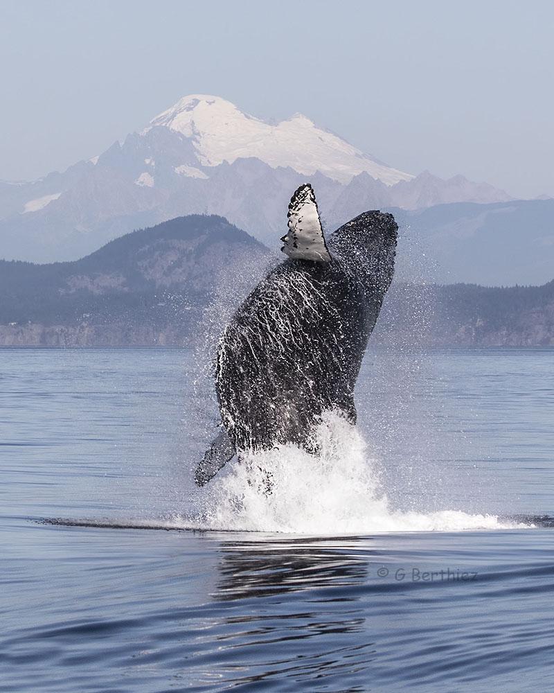 Humpback Breach by Gwen Berthad