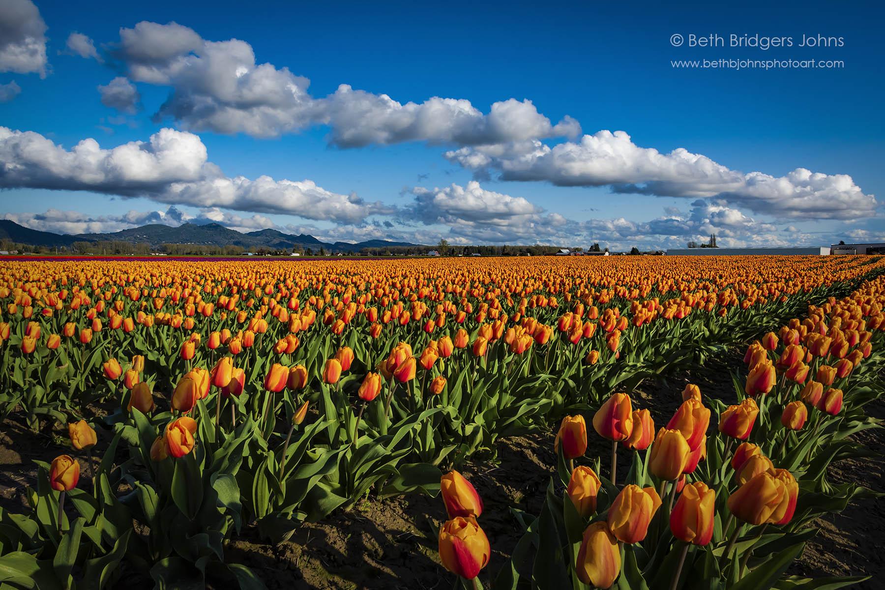 Endless Orange Tulips