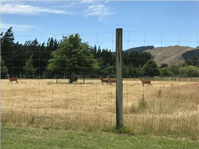 Deer are free to roam within large paddocks