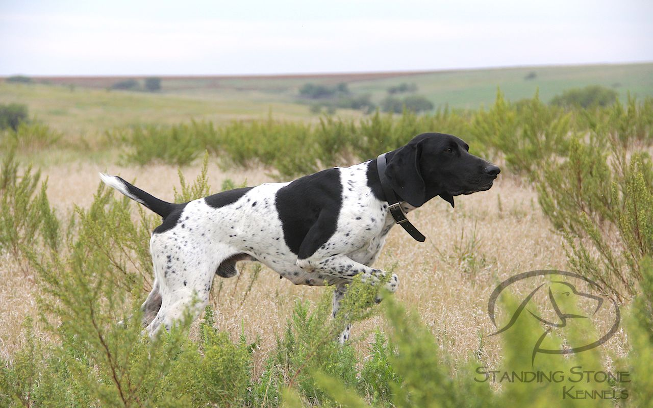 German Shorthaired Pointer Studs Standing Stone Kennels