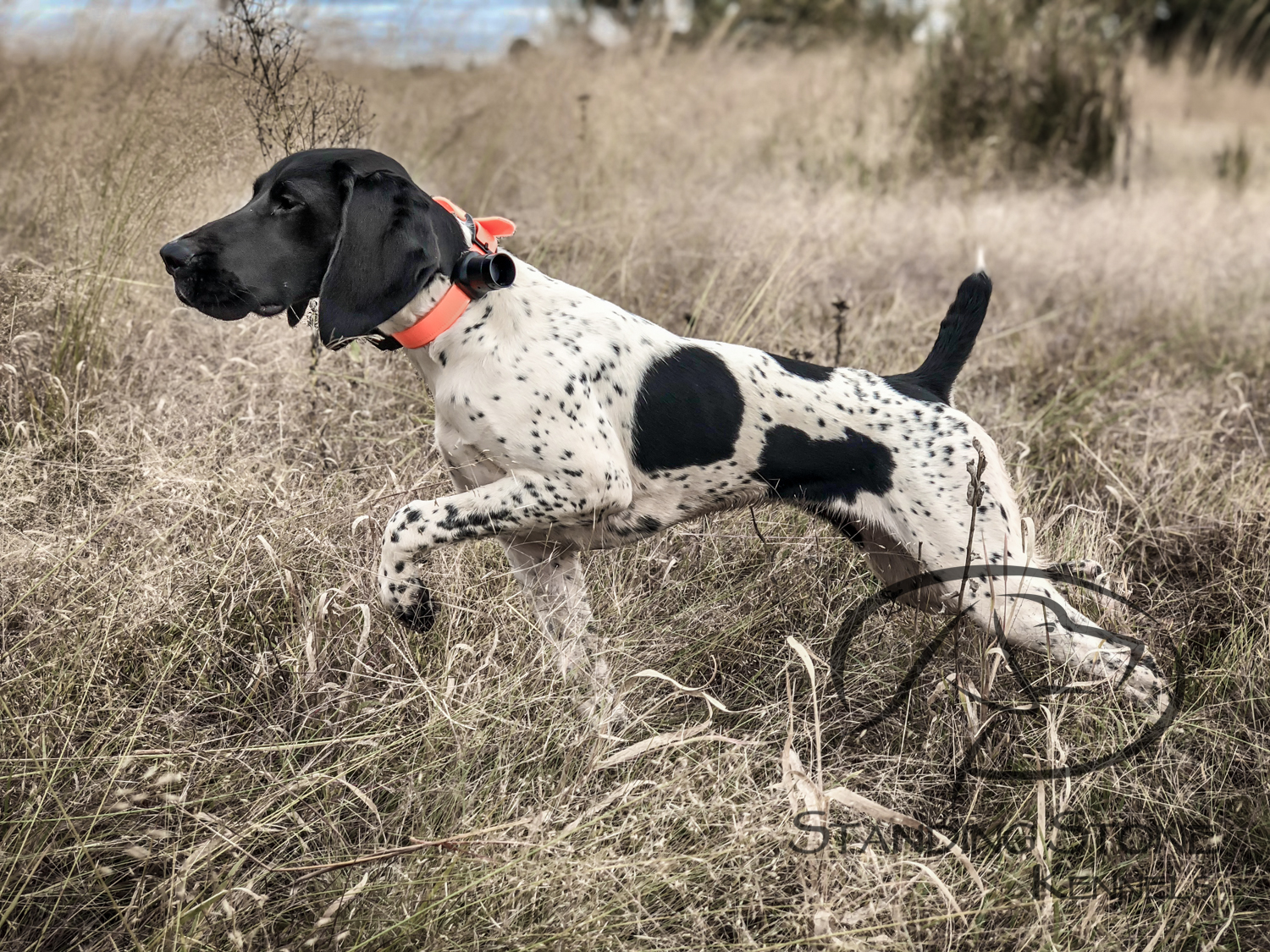rogue-GSP-on-point - Standing Stone Kennels.jpg