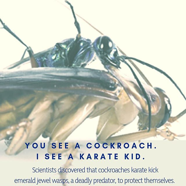 Introducing the karate kid of the insect kingdom...the humble cockroach.  #karate #cockroach #selfdefense #science #scicomm #secretworld #planetdiscovery #nature_brilliance #naturesbeauty