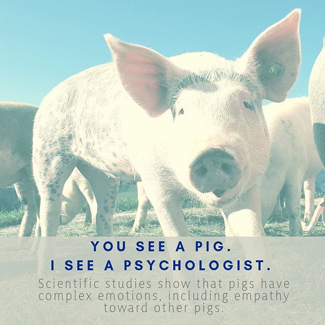Feeling down? The pigs are here to support you...studies show pigs have a deep sense of empathy.  #pig #psychologist #science #scicomm #secretworldofscience #feelings #empathy #nature #naturelovers