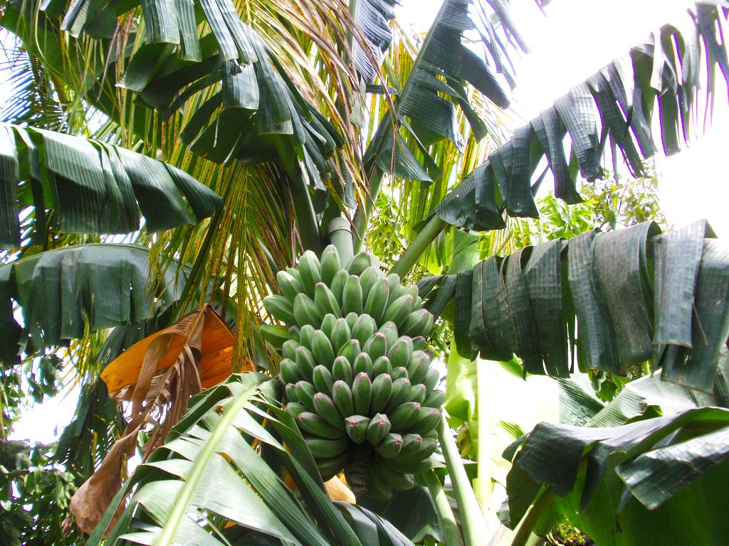 Saba_banana_tree.jpg