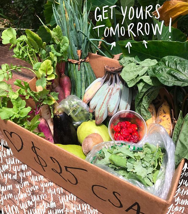 CSA‼️DAY is tomorrow! Pick up a box of fresh and local summer grown food from Kolea Farm tomorrow, Saturday 13th from 9:30-11am 🌞  DM us if you'd like one. Mahalo 🙏🏼✨ . . . . #pupukea #northshoreoahu #foodiesofhawaii #hawaiifarm #supportlocalfarms #oahufoodventures