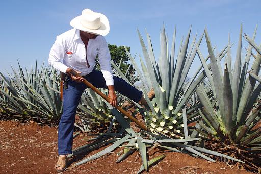 Pruning agaves in Mexico