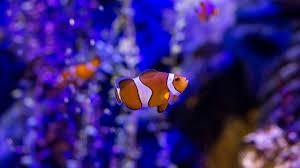 Clownfish Sea life.jpg