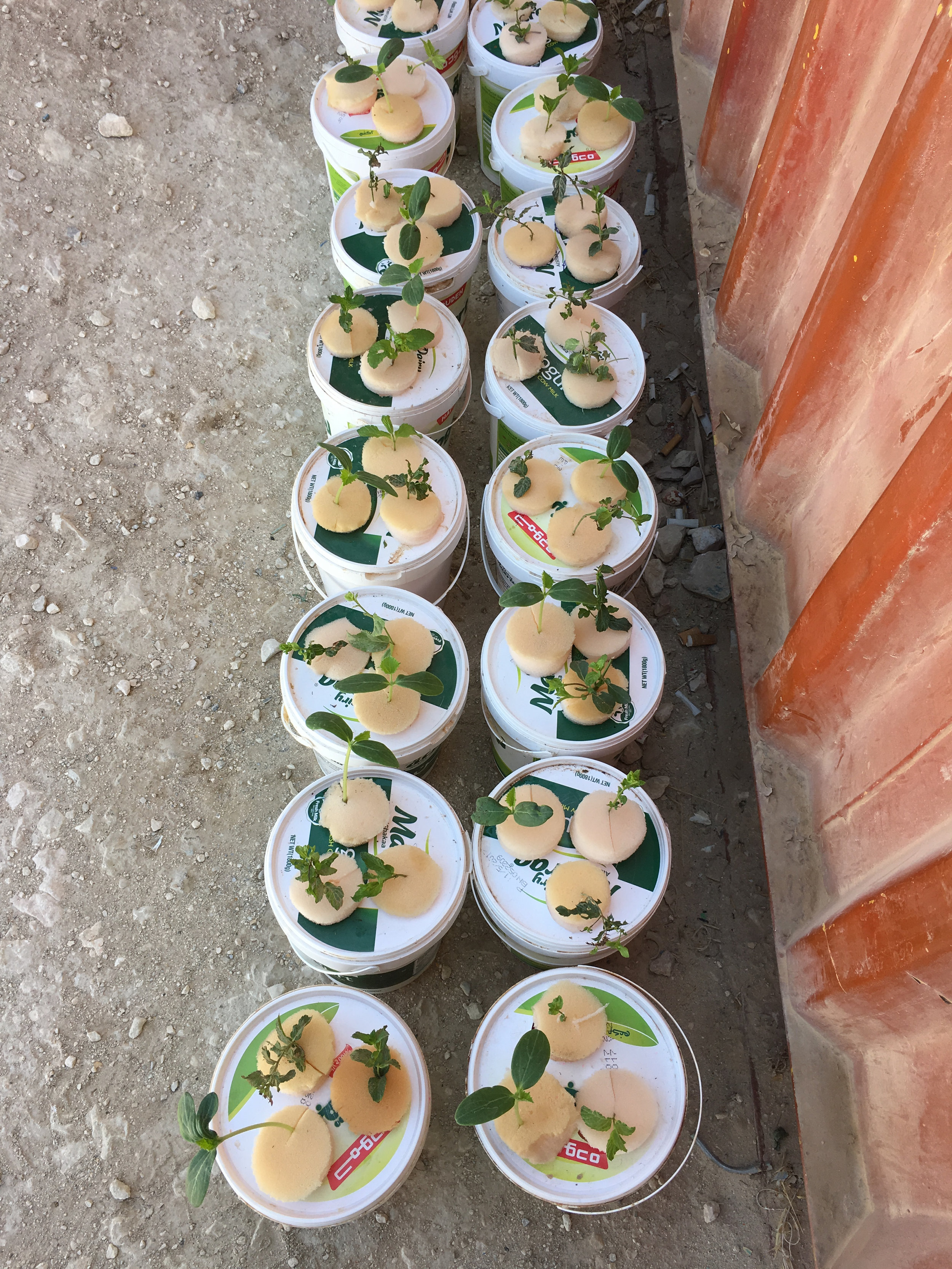 Herbs grown from mattress sponge and yoghurt pots.