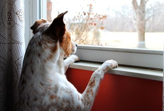 Anticipation dog waiting.jpg