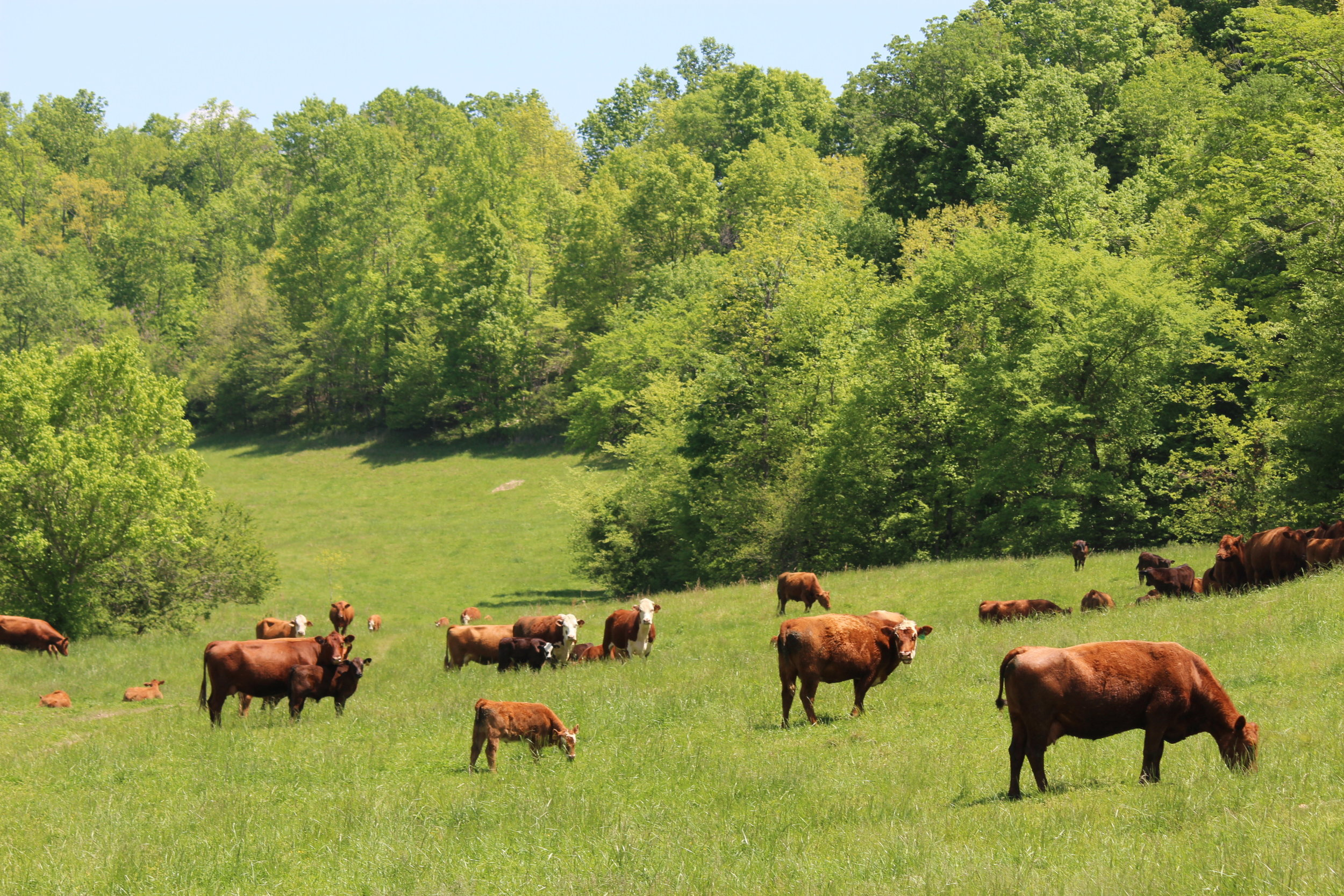 What we offer - ON PASTURE: Our cattle are raised on lush green pastures in Giles County, Tennessee. Grain-finished beef from our farm is not the same as what comes from concentrated feedlot operations. We care for our animals by letting them graze for the vast majority of their lives before finishing on homegrown grains in friendly and humane conditions. We also cooperate with other local farmers for much of our hay and feed needs.Pasture-raised, grain-finished cows from small-scale, well-managed farms live healthy and enjoyable lives…creating tasty, nutrient-laden beef.