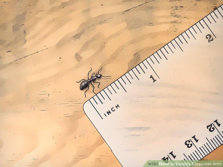 aid1612138-v4-728px-Identify-Carpenter-Ants-Step-2-Version-4.jpg