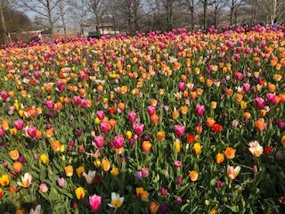 The amazing tulips
