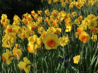 Incredible daffodils