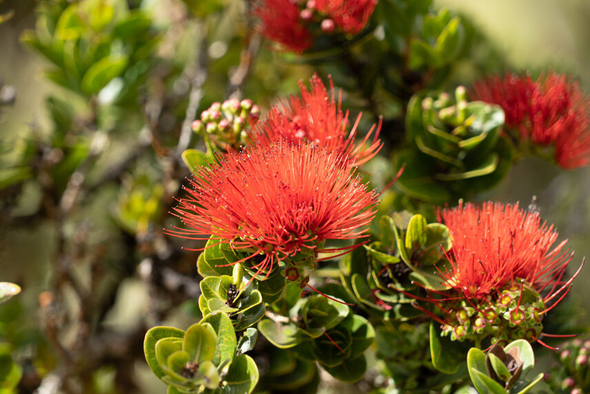 A beautiful  lehua  flower from an  ohi'a  tree the may date back centuries in age within the Nakula Forest