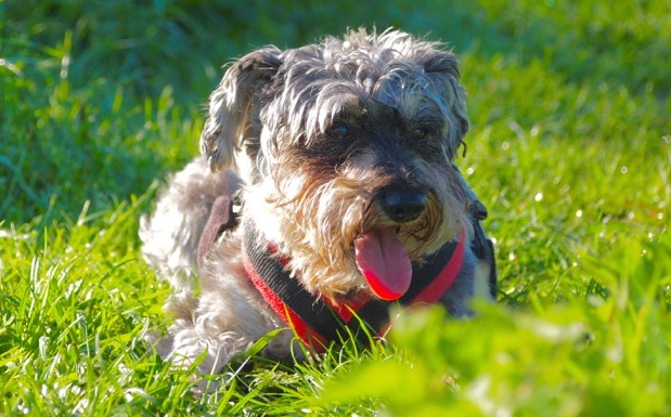ABOUT - Learn more about what Schnauzerfest is and what it does with the money raised